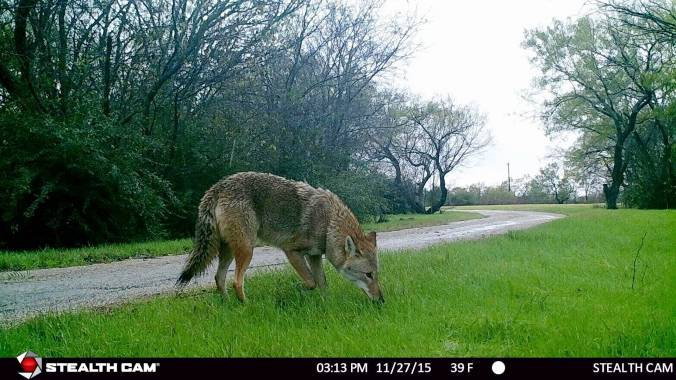 Coyote near Milam Creek