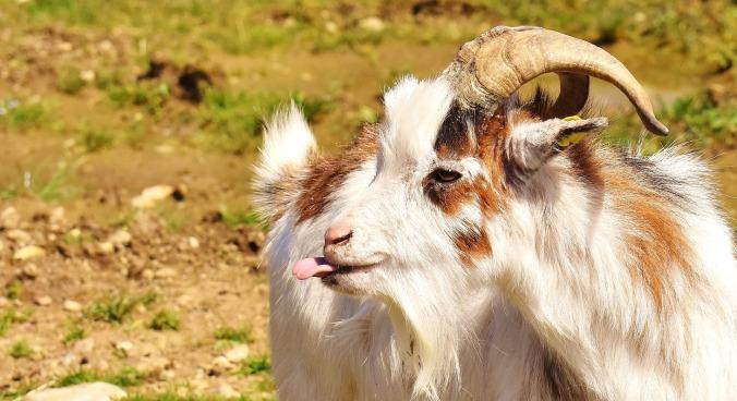 goat-2190007_1920